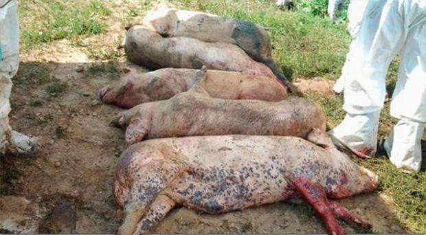 Suspiciune de pestă porcină africană în Arad. S-au sacrificat 55 de porci!
