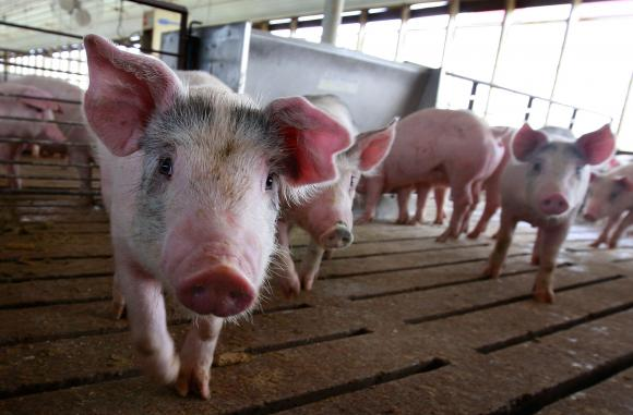 Ce se întâmplă dacă mâncăm carne de porc infestată cu pestă porcină africană