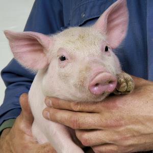 PCV2 – Circovirus de porc tip 2
