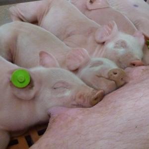 PRRSV – Virusul sindromului reproducător și respirator porcin