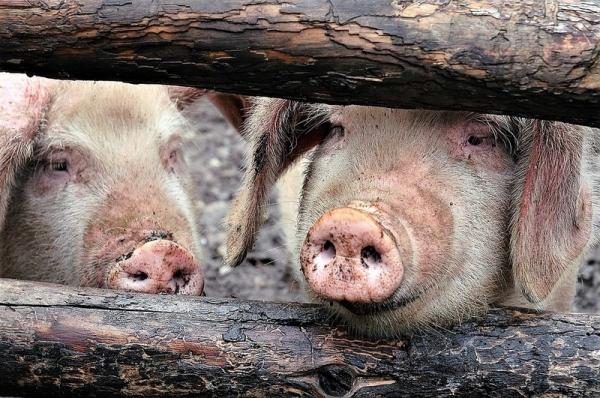Un nou focar de pestă porcină africană a fost confirmat în judeţul Galaţi, zeci de porci fiind sacrificaţi